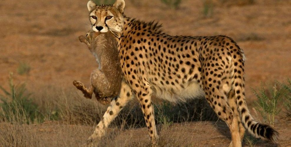 Cheetah - threatened with extinction