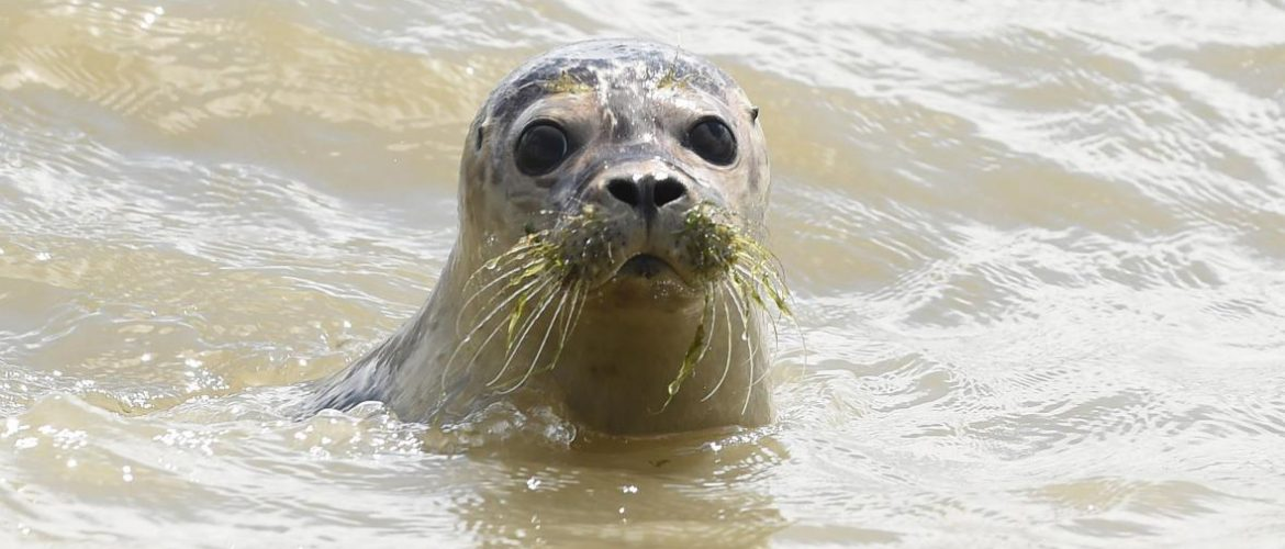 young_seal